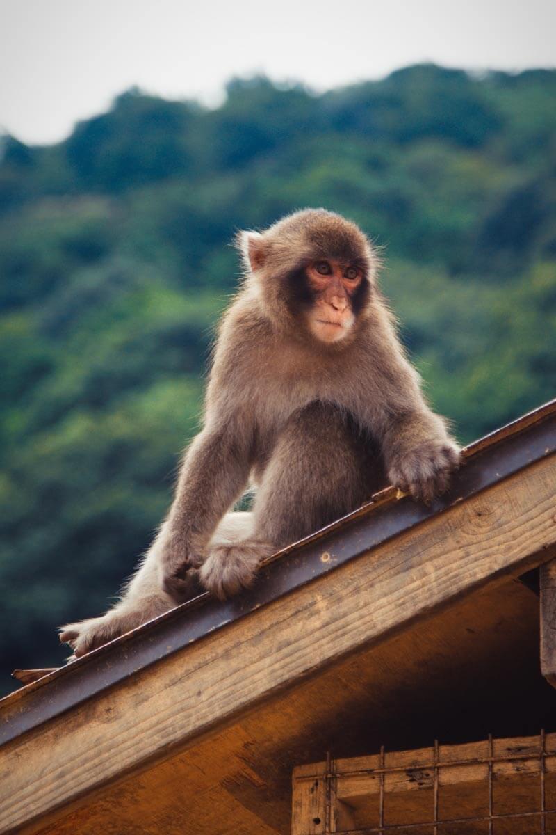 Kyoto-Monkey
